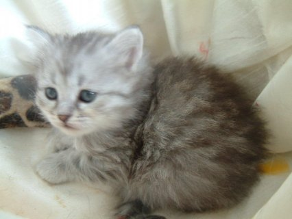 Two Siberian Kittens ready to go For Good Homes1