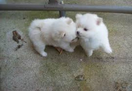 Tiny Teacup Pomeranian Puppies 11
