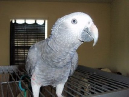 Congo African Grey Parrots For great homes