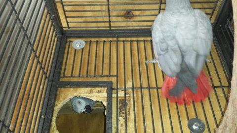 African Grey Parrots   Renowned for their vocabularies and clari