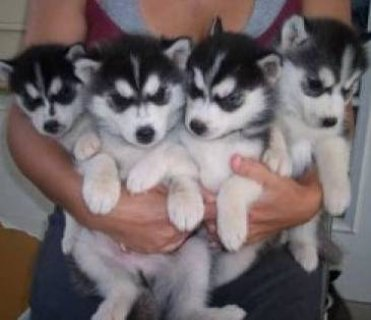 Siberian Husky Puppies with Blue Eyes 111