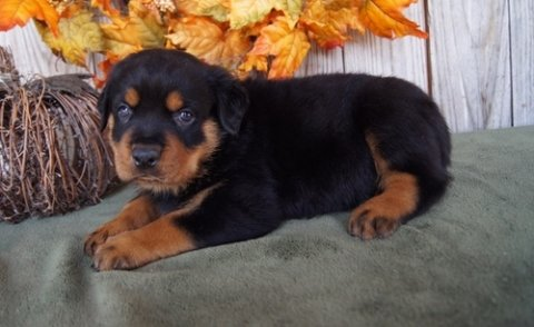 Beautiful Rottweiler