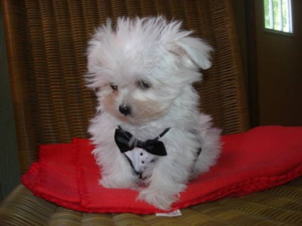 صور Adorable Maltese puppies available for adoption11 1