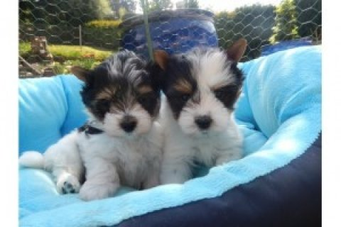 Beautiful Biewer Yorkie Puppies Available
