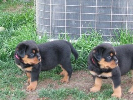 Home Raised Rottweiler Puppies Available