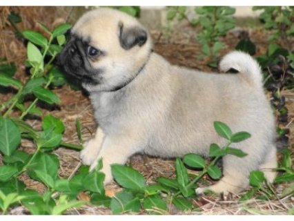 Gorgeous dewormed Pug puppies for urgent Re homing