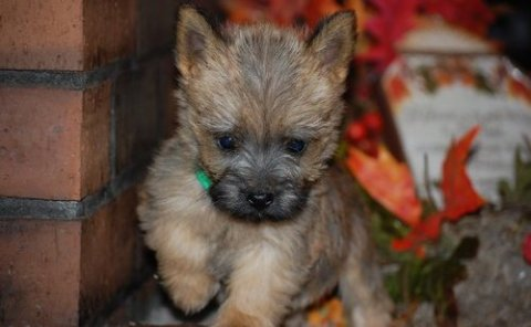 Potty Trained Cairn Terrier puppies for sale
