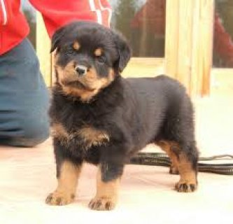 male and female Rottweiler Puppy puppies