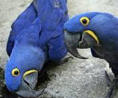 Pair Of Hyacinth Macaw Parrots For Free