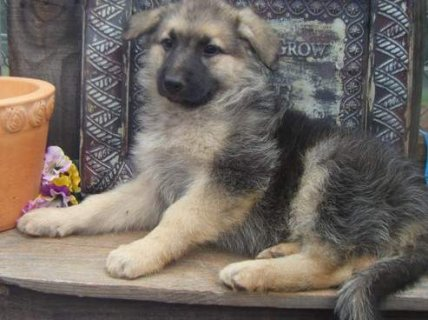 Magnificent German Shepperd puppies looking for a caring and lov
