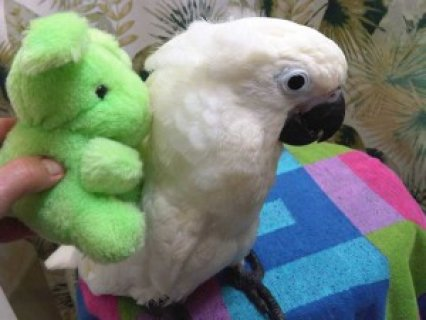 Umbrella Cockatoos parrots for sale1
