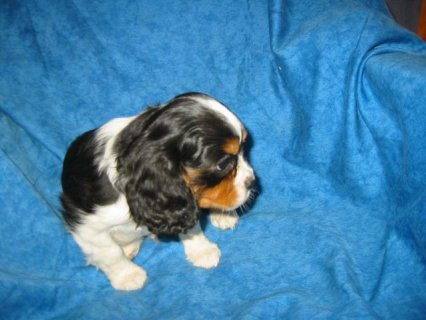 Cavalier king Charles spaniel puppies are ready to go out