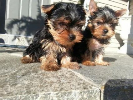 These little Yorkshire terrier pups are so precious!