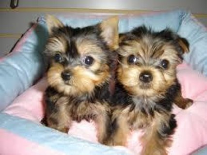 These are well trained yokie puppies that are home raised