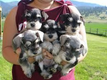 Gorgeous Miniature Schnauzer Puppies Available Now.Vaccinated,