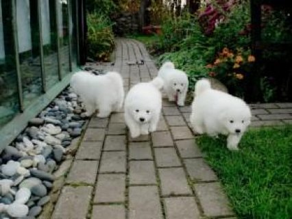 Excellent Samoyed Puppies for Adoption
