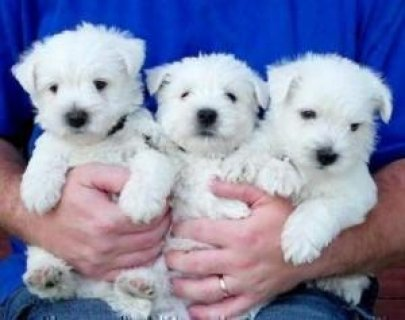 Cute White West Highland  Terrier Puppies ready  excellent qual
