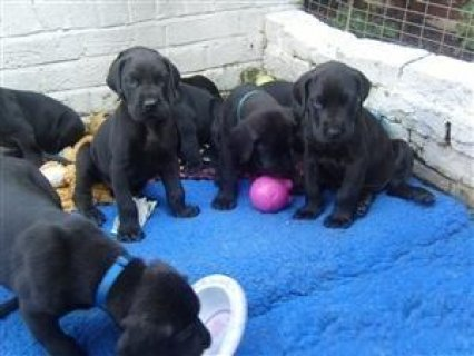 Excellent  harlequin great dane puppies for adoption ,