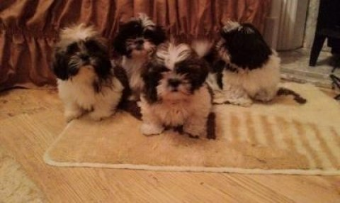 Adorable Shih Tzu Puppies for adoption We have 4 girl\'s and 2