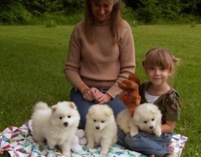 White American Eskimo puppies ready to go White American Eskimo