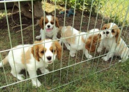 Cavalier king charles spaniel Puppies for available male and fe