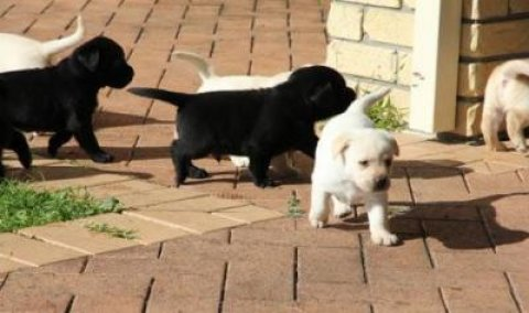 Cute Labrador Retrievers Available
