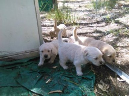 Awesome Golden Retriever Puppies Available