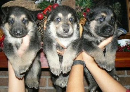 Outstanding German Shepherd puppies for Available