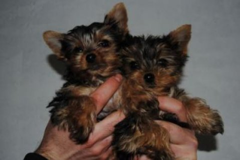Extraordinary  Teacup Yorkie Puppies for Adoption,