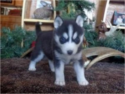 صور X_Mas Siberian Husky Puppies For Re-homing 1