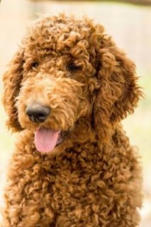 I have healthy Poodle puppies here for adoption.