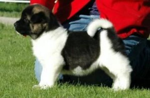 Just absolutely gorgeous, flashy Akita puppies.
