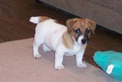 AKC registered Jack Russell Puppies for sale