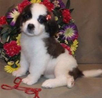 Adorable male and female Saint Bernard Puppies for Sale