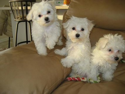 Maltese Puppies Available For Rehoming
