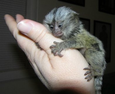 Baby marmoset monkeys for adoption.