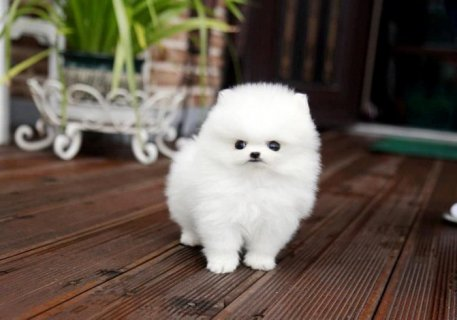 Pomeranian Puppy for Sale........................