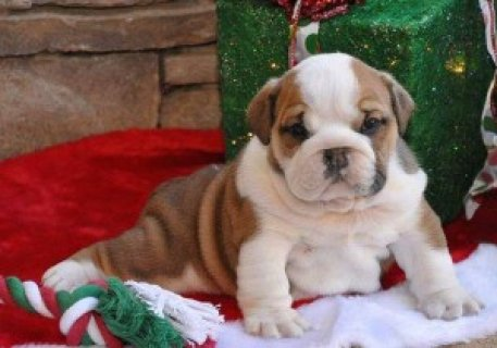 Adorable English Bulldog Puppies,,,,,,,,,,,,,,,,,,