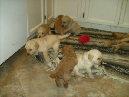 Labradoodle Puppies (Male and Female)
