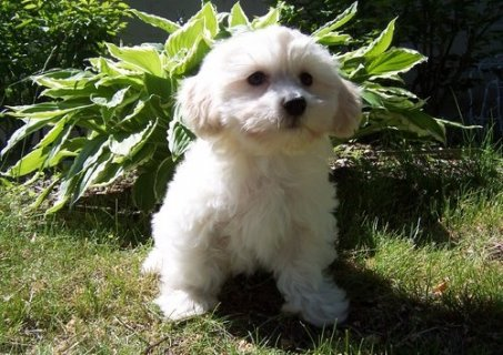 صور Twin Havanese puppies  1