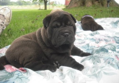 Adorable shar pei puppies for sale