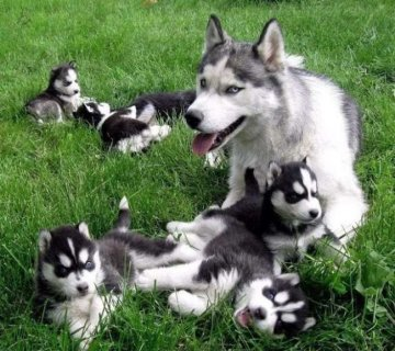 Siberian Husky Puppies with Blue Eyes 1111