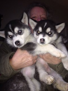 1 Gorgeous Girl Siberian Husky Ready Now