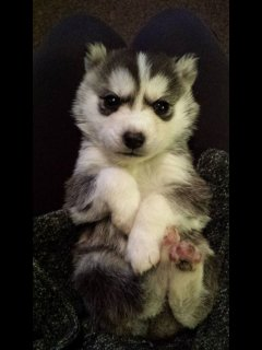 Siberian Husky Puppy Bitch for sale