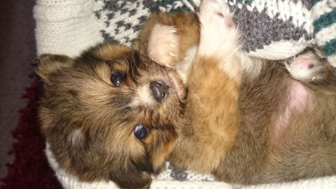 صور Absolutely Stunning Pomeranian X Cavalier Puppy's for sale 1