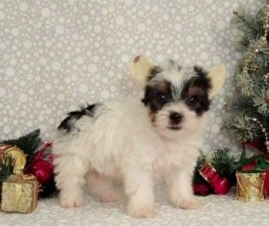Teacup & Toy Puppies FOR SALE