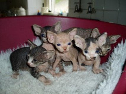 Charming Sphynx Kittens Ready For Adoption.....////