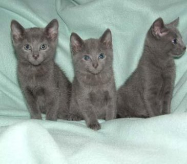 Adorable Russian blue kittens ready to leave now.