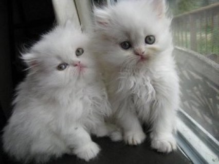 ///two White Persian Kittens...////