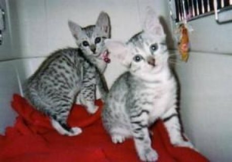 صور Lovely male and female Eygtian mau kittens for adoption 1